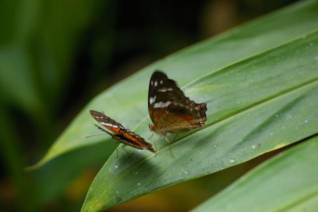 Couple d'Anartia amathea LINNAEUS, 1758. Caçandoca (Ubatuba, SP), 23 février 2011. Photo : J.-M. Gayman