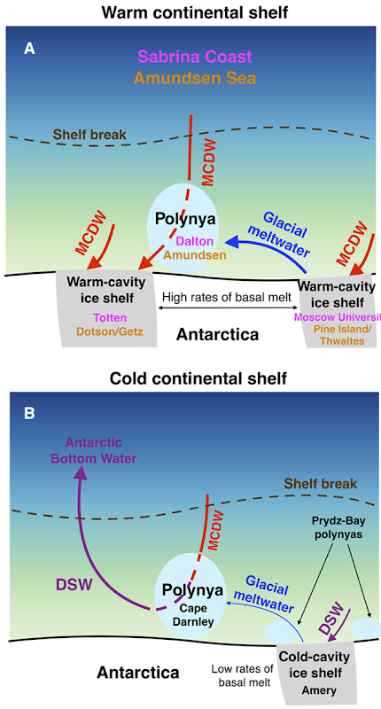 Impact of glacial meltwater on dense water formation and Antarctic shelf stratification. On warm continental shelves, as those on the Sabrina Coast and in the Amundsen Sea (A), MCDW drives rapid ice shelf basal melt. The large volume of glacial meltwater prevents DSW formation in polynyas downstream of the meltwater outflow. MCDW remains in the bottom layer throughout the year in the polynya and further downstream, where it can access the ice shelf cavities. On cold continental shelves, the ice shelf cavities are filled by cold shelf waters, and basal melt rates are low. Glacial meltwater input is not sufficient to suppress winter convection in polynyas downstream of the meltwater outflow, as seen at Cape Darnley Polynya (B), allowing formation of DSW, the precursor to Antarctic Bottom Water. Graphic: Silvano, et al., 2018 / Science Advances