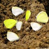 Eurema albula sinoe (GODART, 1819) en blanc, et Eurema agave pallida (CHAVANNES, 1850). Pitangui (MG, Brésil), 25 mars 2012. Photo : Nicodemos Rosa
