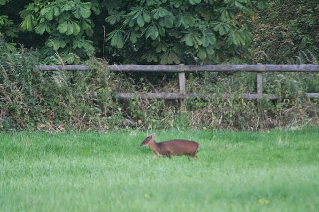Woodhurst Wildlife Muntjac In The Grassfield - muntjac15.jpg