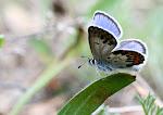 Foranderlig blåfugl - han - aberration.4.tif.jpg