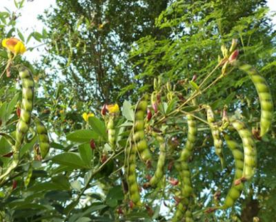 Pokok Kacang Dhal