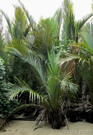 Nipah palm with fruit bunch 2