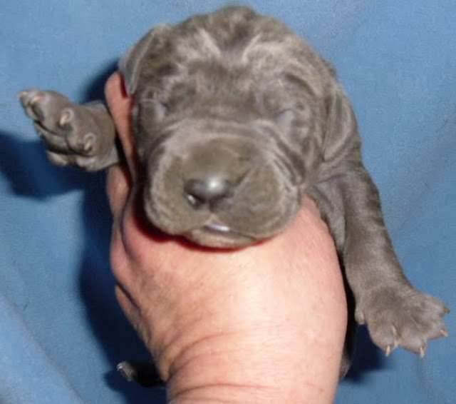 Nicky's Blue boy @ 1 week