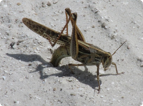 6 Grasshopper laying eggs