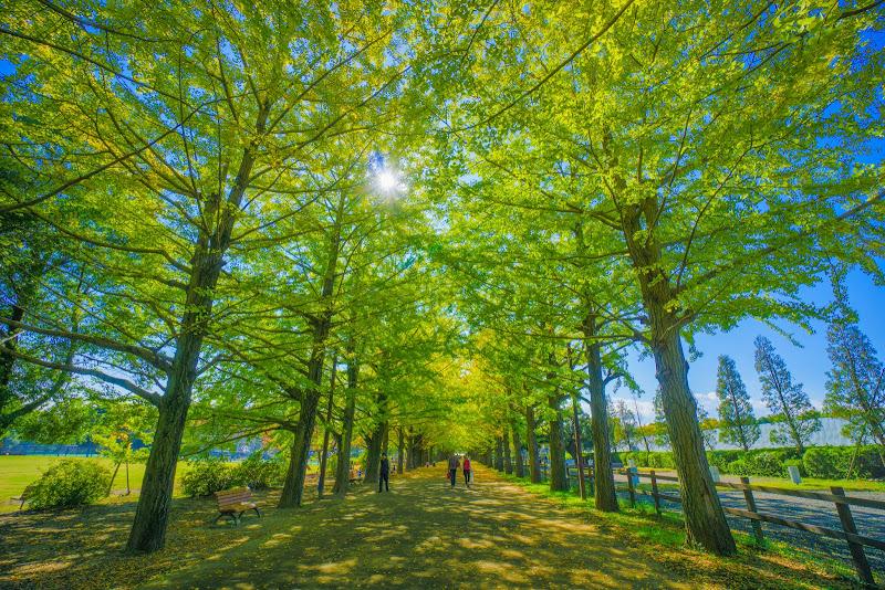 昭和記念公園 かたらいのイチョウ並木 写真3