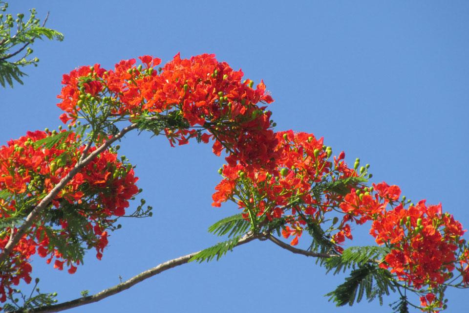 Hoa phượng đỏ rực báo hiệu mùa hè