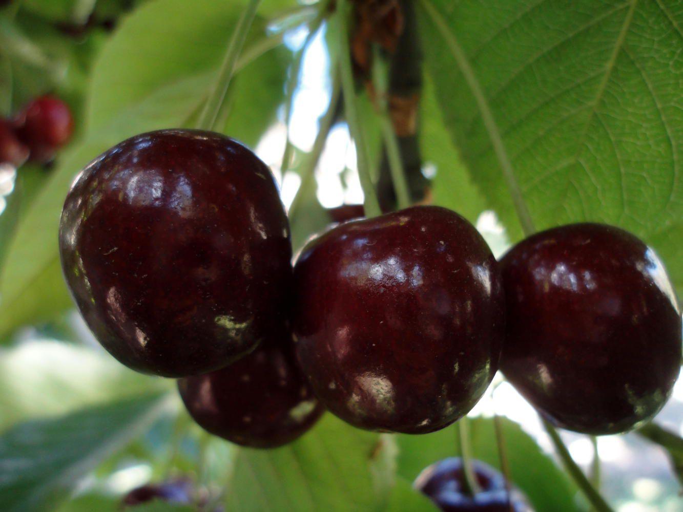 Cherry in a garden of Mr. Abbas, Gulmit, Nagar