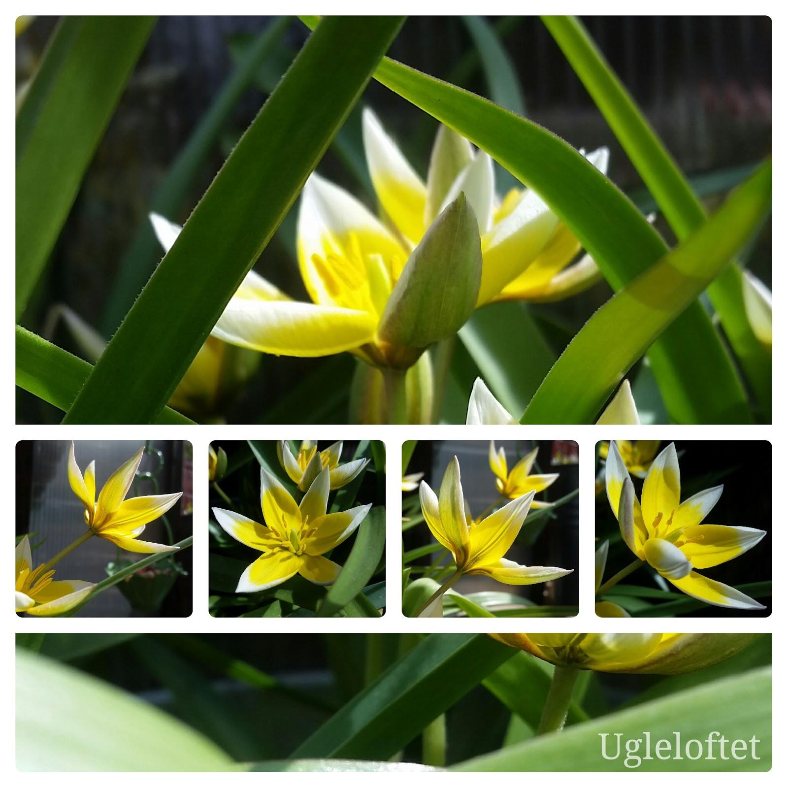 Ugleloftet: Botaniske tulipaner