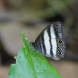 Satyrinae : Pareuptychia hesionides deviae BRÉVIGNON, 2005, mâle. Patawa (Montagne de Kaw), 23 octobre 2012. Photo : J.-M. Gayman