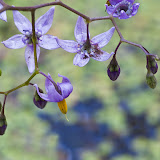 nightshade_MG_6938-copy.jpg