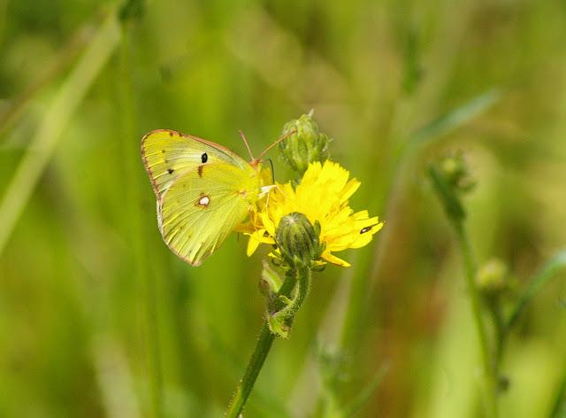 Colias alfacariensis RIBBE, 1905, mâle. Les Hautes-Lisières, 16 juillet 2009. Photo : J.-M. Gayman