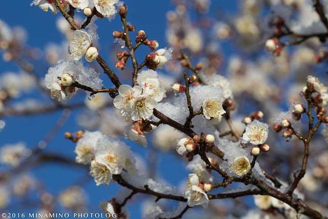 栃谷戸公園の梅