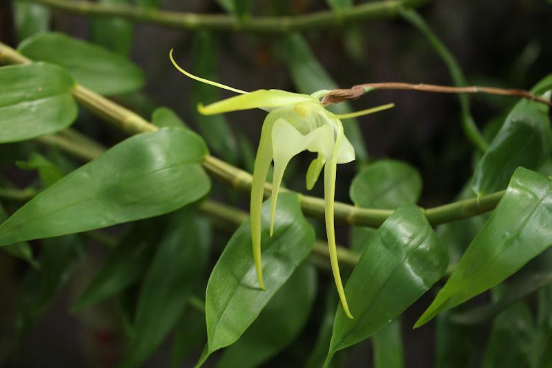 Aeranthes grandiflora IMG_2304
