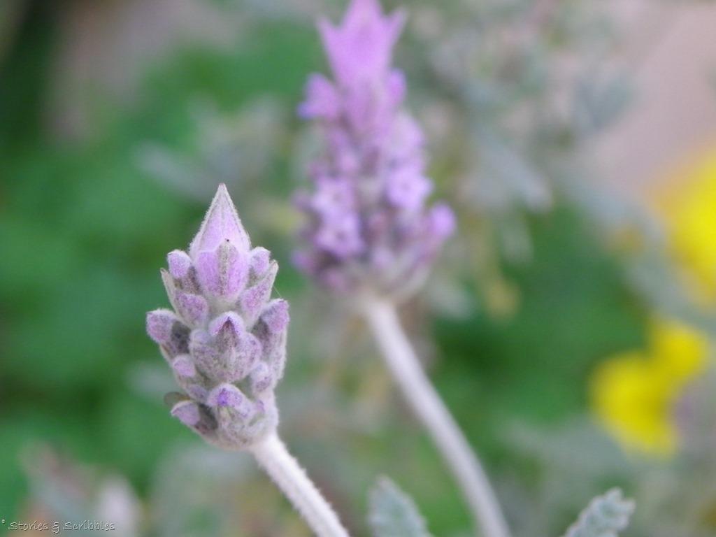 [Lavender+%2810%29%5B3%5D]
