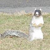 A monkey squirrel.