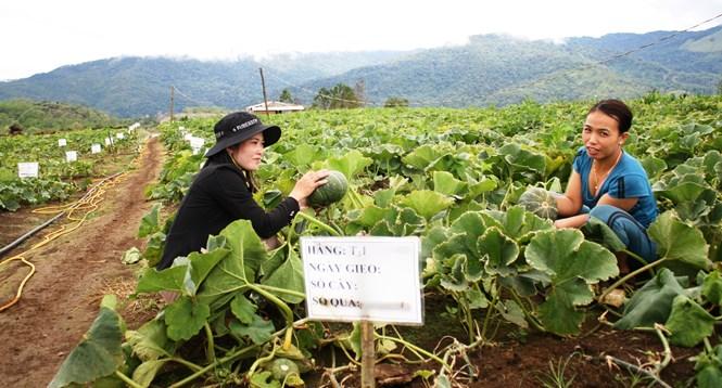 Vườn bí phát triển, cho quả đúng theo yêu cầu chuyên gia Nhật đặt ra - Ảnh: Phạm Anh