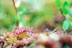 TERREUR   Des insectes : le droséra, plante carnivore !