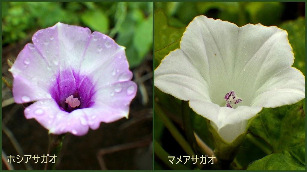 左ホシアサガオ 右マメアサガオ 花の比較写真