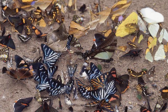 """Papillons """"mud-puddlant"""" (près d'une vingtaine d'espèces différentes !). Vallée de Kosñipata, nov. 2009. Photo : B. H. Purser"""