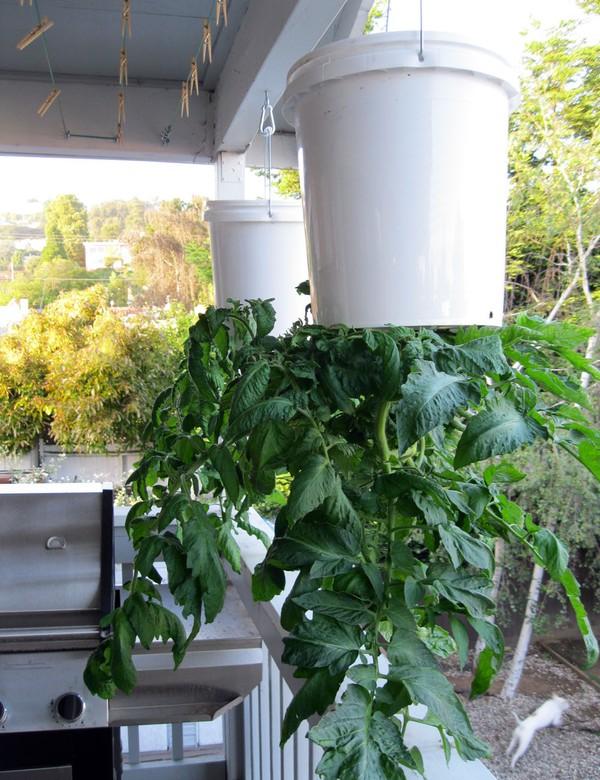 Độc đáo cách trồng cà chua lộn ngược sai trĩu trịt quả - 55dafb3dd9370