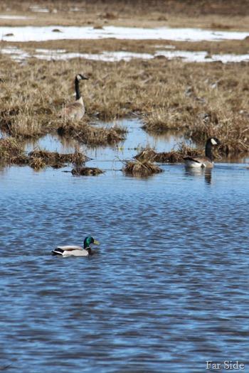 Mallard and Geese