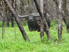 wildlife-water-buffalo-2.jpg