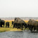 Elephants crossing the Chobe River