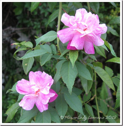 05-17-back-roses3
