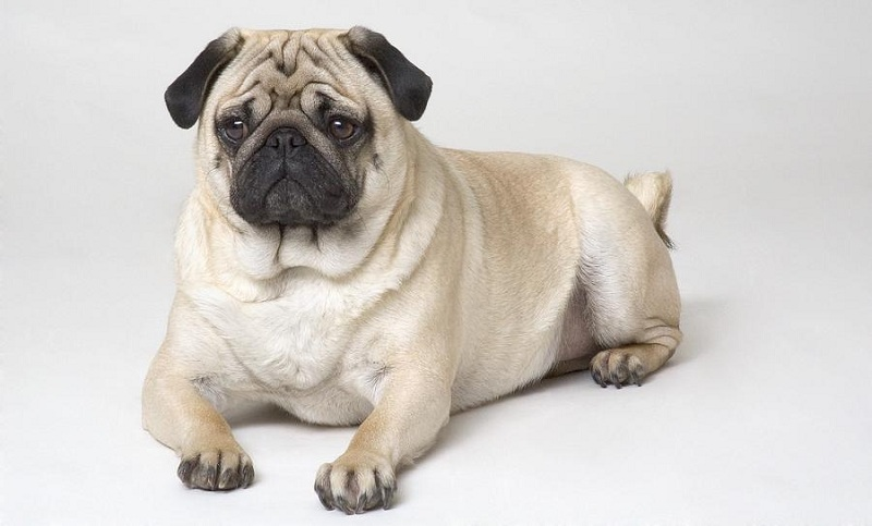 Chó Pug (hay Pug mặt xệ)