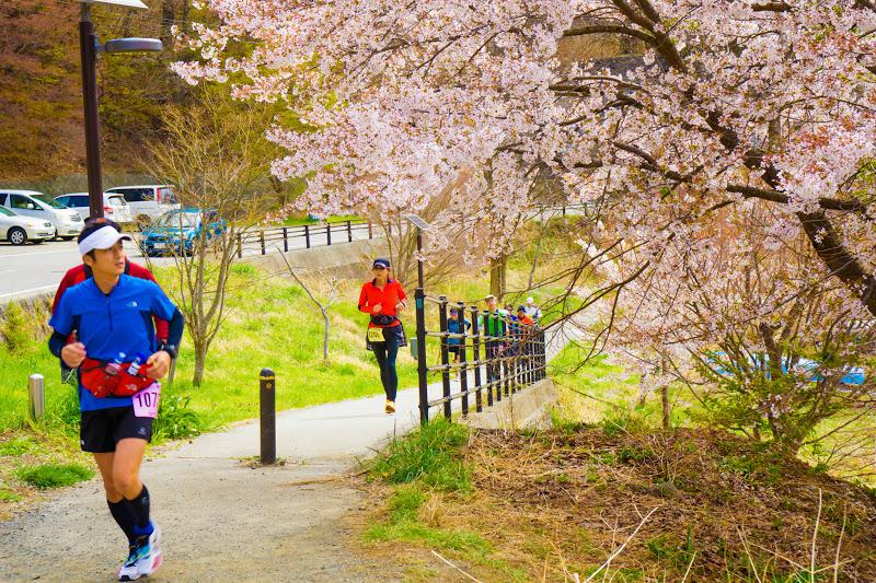 河口湖 長崎公園 桜 写真3