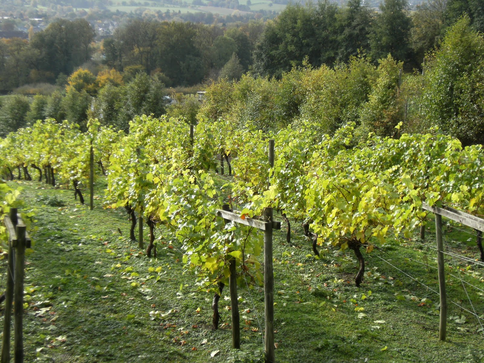 1010300013 Godstone Vineyard