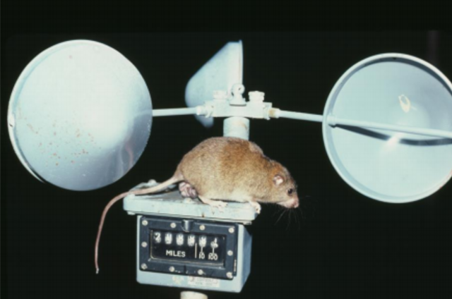 A Bramble Cay melomys (Melomys rubicola) with single young attached to a teat, perched on an anemometer located on Bramble Cay, October 1979–March 1980. The Bramble Cay melomys species was declared extinct in June 2016, a victim of sea level rise caused by global warming. Photo: David Carter