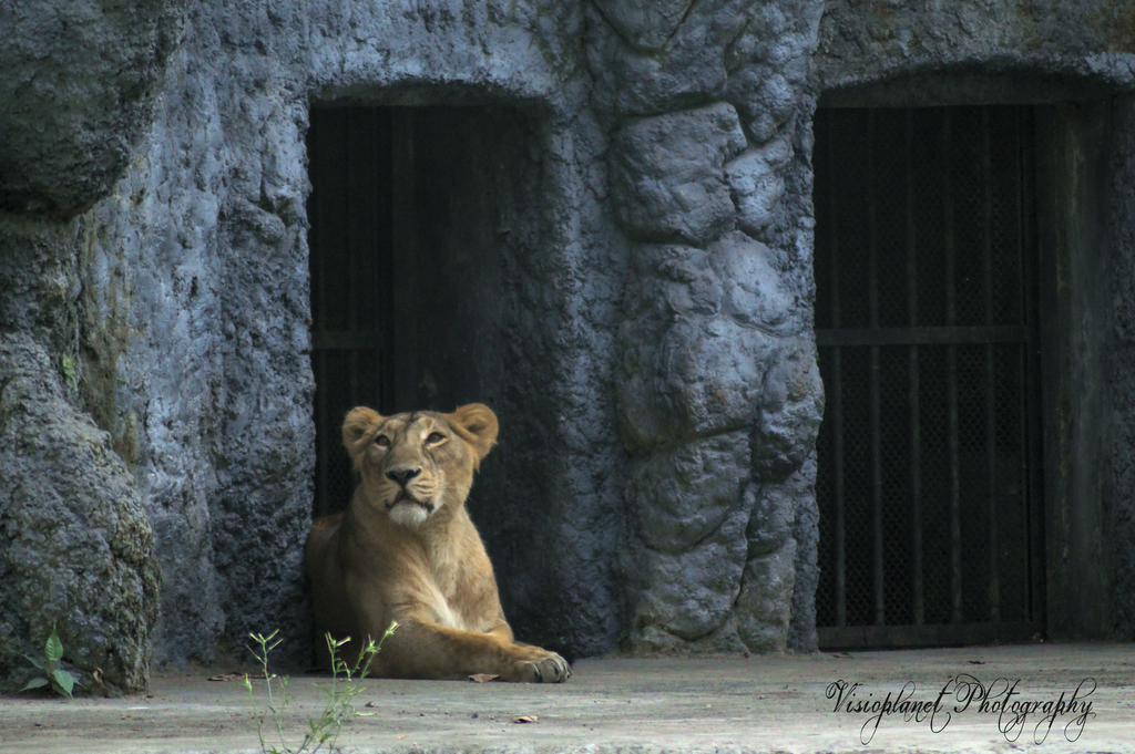 The Lioness by Sudipto Sarkar on Visioplanet