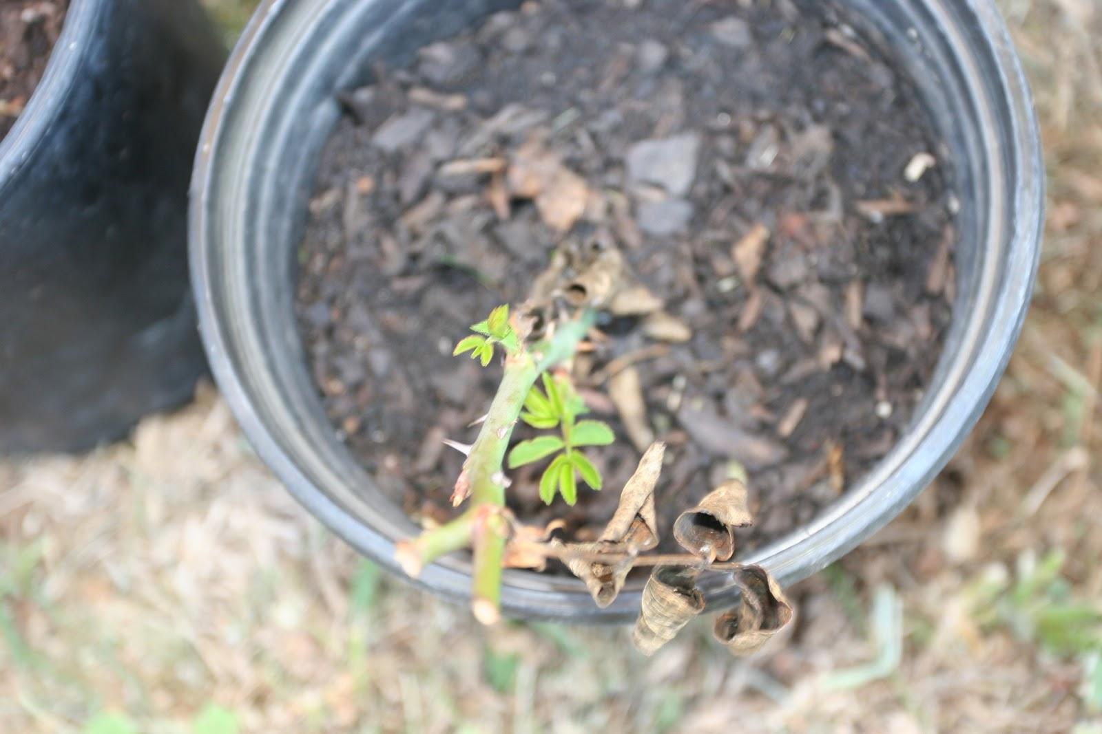 Gardening 2012 - IMG_3212.JPG