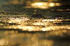NAGER DANS L'OR   Ragondin au coucher du soleil dans un étang bressan