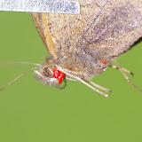 Maniola jurtina parasité par des acariens. Les Hautes-Lisières (Rouvres, 28), 6 juillet 2012. Photo : J.-M. Gayman