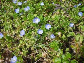 イヌフグリの花