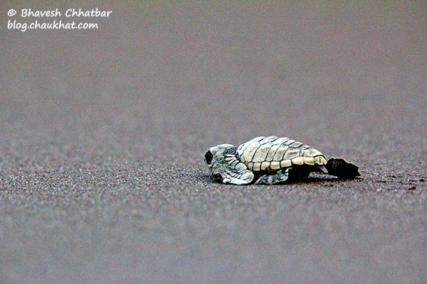 On way to the Arabian Sea. Here you go baby turtle! Just a few more steps…