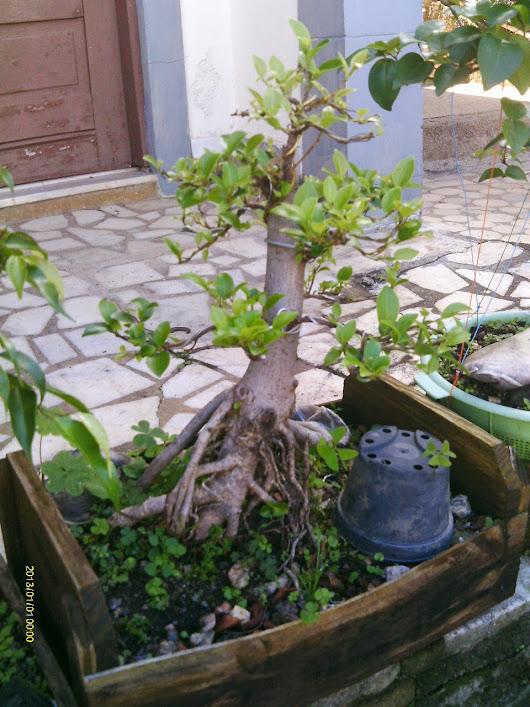 Ficus Microcarpa var. Indica... - Página 2 IMAG0098