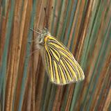 Pierinae : Tatochila pyrhomma RÖBER, 1908. Vallée de Kosñipata, nov. 2009. Photo : B. H. Purser