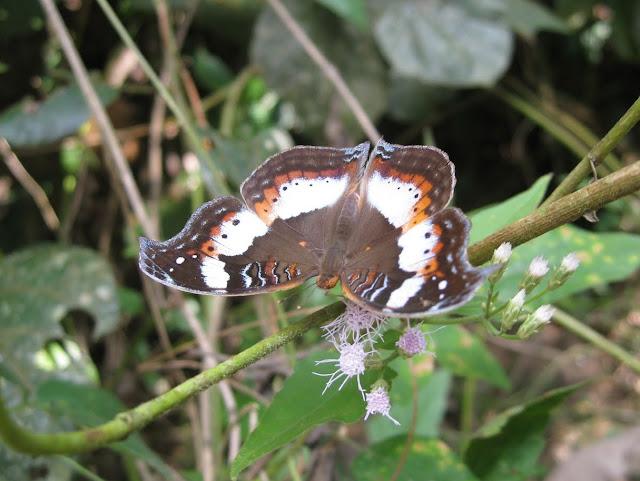 Precis pelarga FABRICIUS, 1775, forme saison sèche. Bobiri Forest (Ghana), 16 décembre 2009. Photo : Henrik Bloch