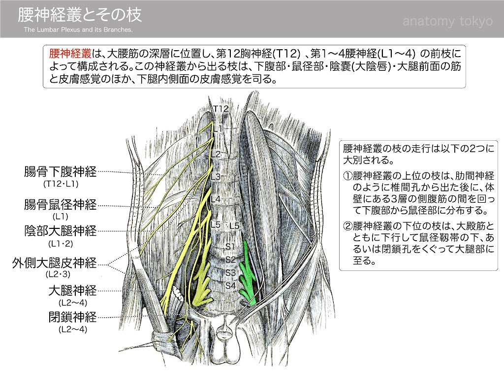 2017-a25-the-lumbar-plexus-and-its-branches.jpg
