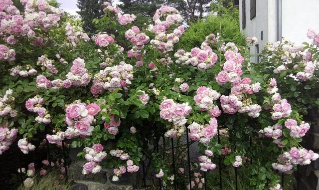 Kletterrose Jasmina überzeugt durch ihre reichhaltige Blüte