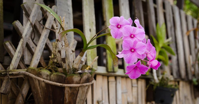 Orquídeas Dendrobiun plantas interior