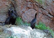 1977 г. Черные бакланы на гнездах