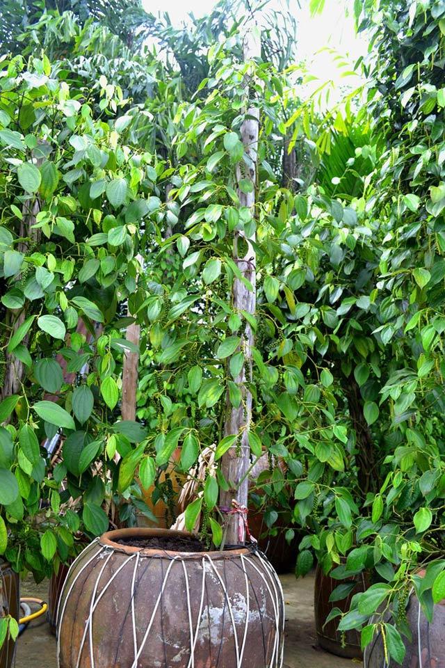 Tiêu trồng… trong chậu vẫn chi chít quả - 55dcf7e79c924