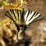 PapilionidaeFrance