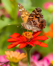 Photo: Painted lady on Zinnia