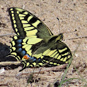 Swallowtail. Mariposa Macaón
